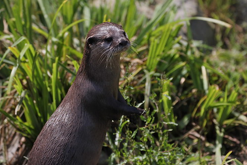 a slim, damp river otter standing up tall in green grass