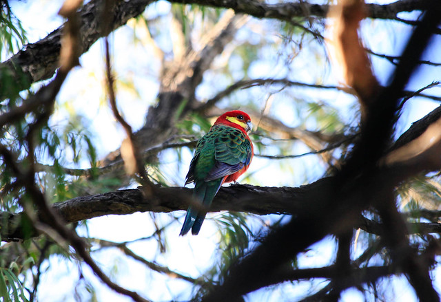 Rosella, Hamelin Bay, Western Australia