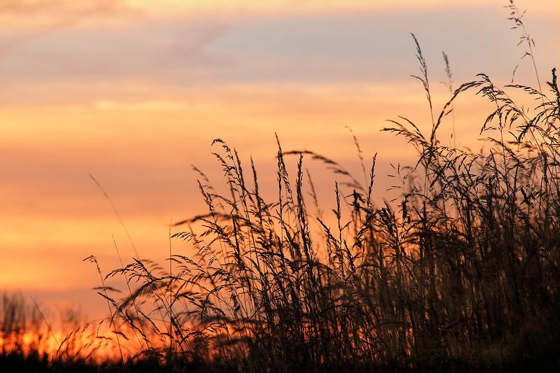 Gras vor Sonnenuntergang