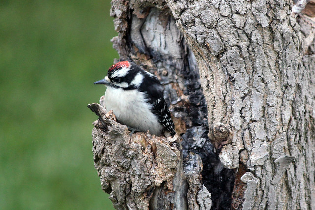 Downy Woodpecker in Weeping Mulberry