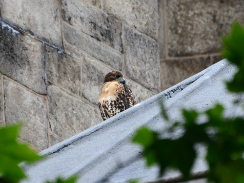Cathedral Hawk Fledgling #2 (2163)