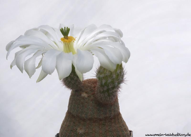Echinocereus rigidissimus ssp. rubrispinus LAU 088 cv. Karl Werner Beisel