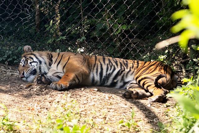 Tiger Doze