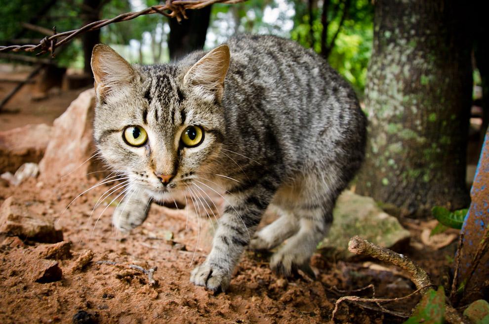 Un gato observa desconfiado la cámara mientras es fotografiado, en una vivienda de Emboscada, departamento de Cordillera. (Elton Núñez)