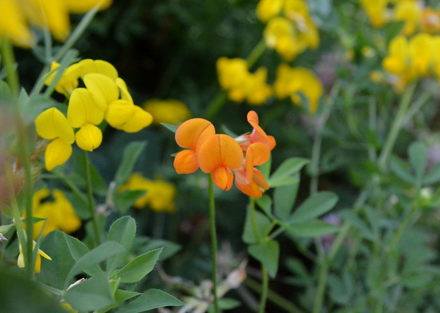 Mutant Orange Birdsfoot Trefoil