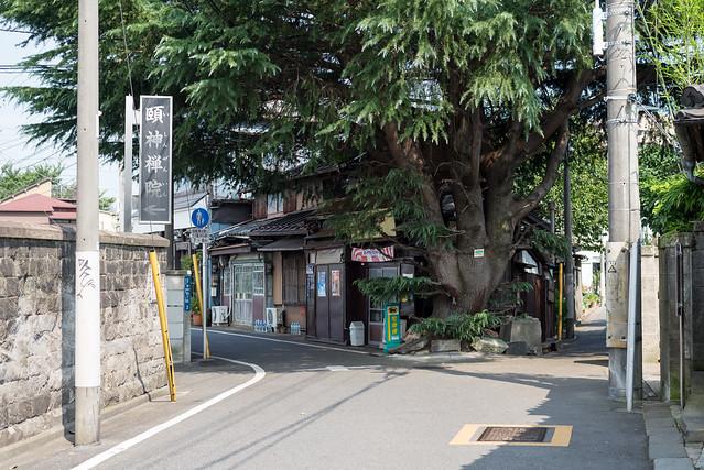 谷中 ヒマラヤ杉