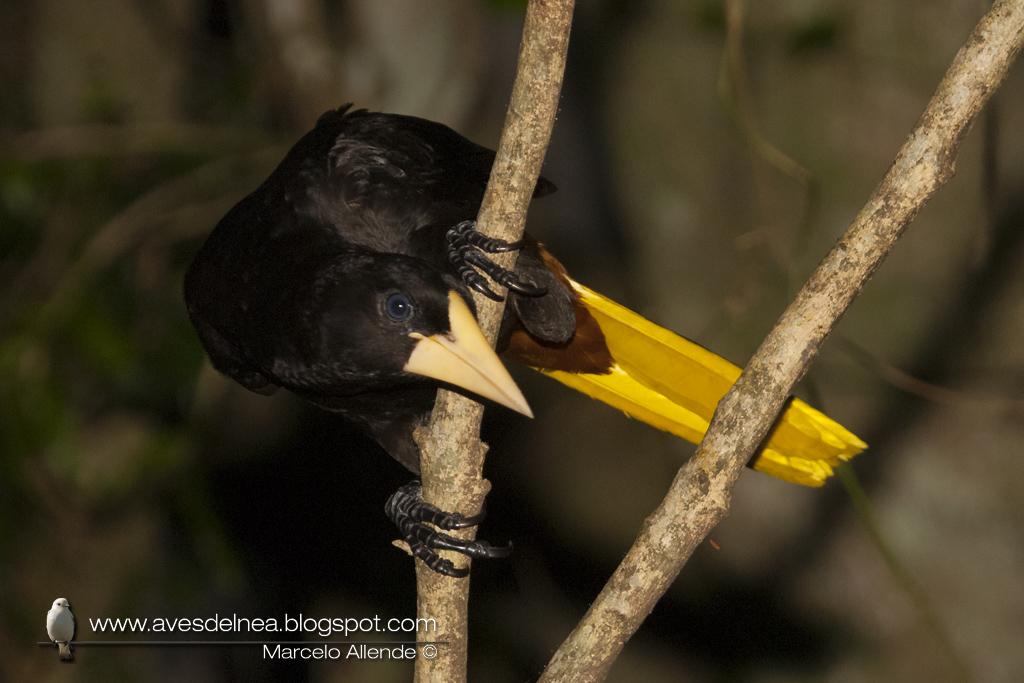 Yapú (Crested Oropendola) Psarocolius decumanus
