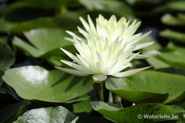 Waterlelie Odorata Sulphurea / Nymphaea Odorata Sulphurea