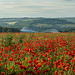 Falmer poppies 2013