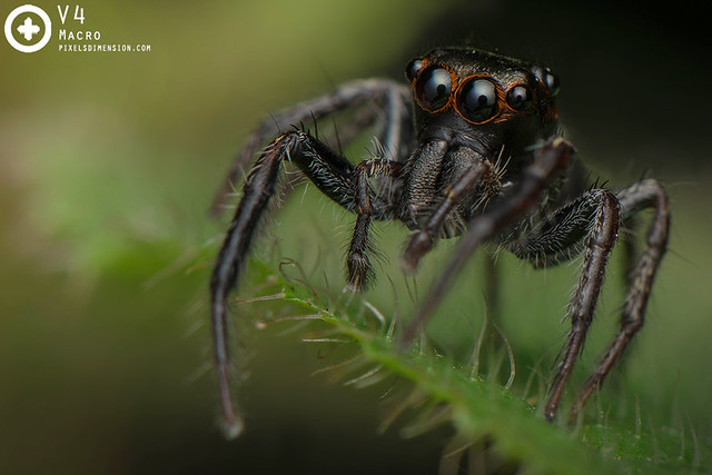 Jumping Spider ♂ (unidentified)