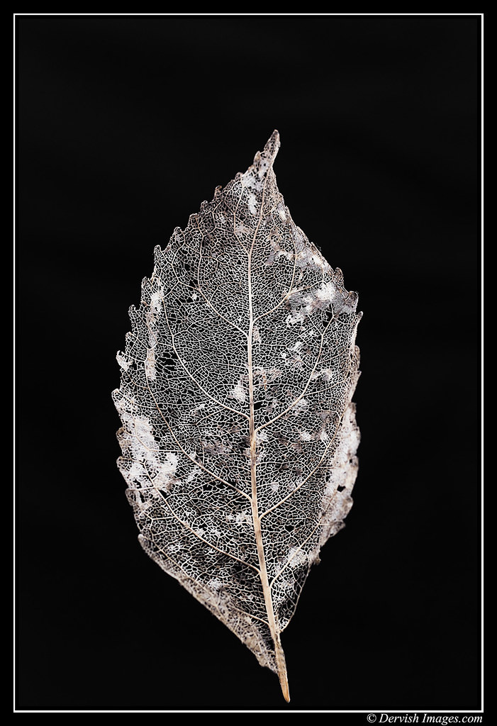 Leaf Skeleton # 1