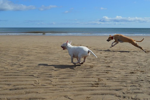 Lurcher and English Bull Terrier