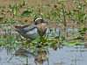 Garganey_small