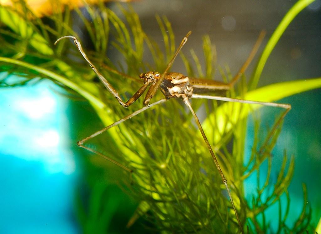 Water Scorpion (Ranatra sp.)