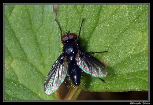 Nyctia halterata mâle