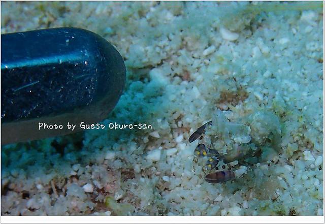 サガミツノメエビの大きさ比較