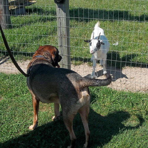 Duke meets a goat