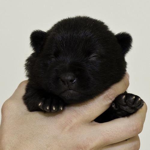 Nori-Litter2-10Days-Puppy6(female)a