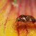 The intrepid explorer - small plant bug on a gaillardia flower #8