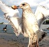 long body sand gull 1a