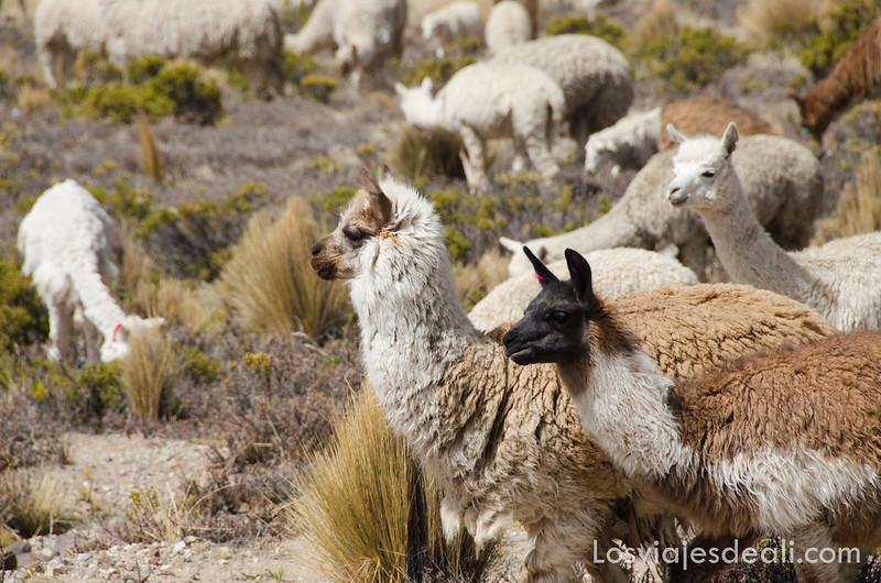 llamas y alpacas en Perú