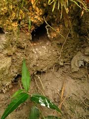 翠鳥在裸露河岸上挖出的巢穴。(攝影:張鈞普)