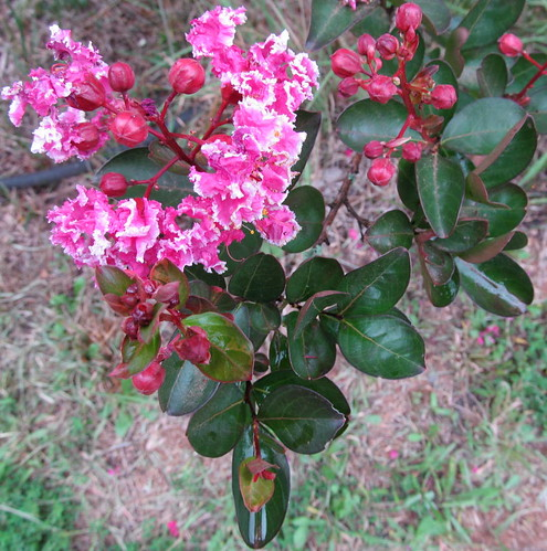 greenleaves branches shrub crepemyrtle pinkflowers lagerstroemiaindica clustersofflowers stokesdalenc summer2014 arrangedopposite crinkledcrepetextured simpleshaped
