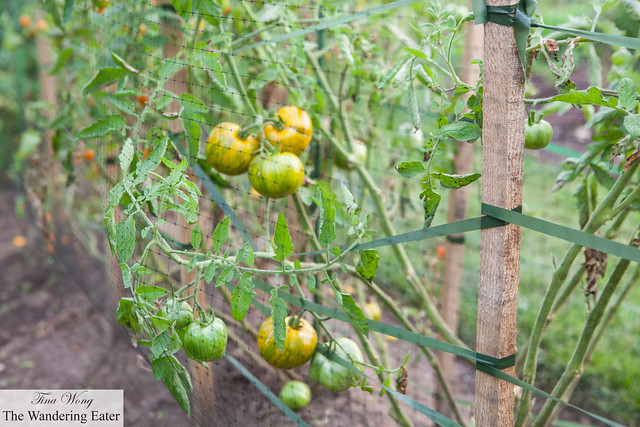 Heirloom tomatoes on the farm