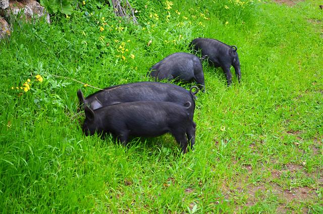 The snuffling missing piglets, El Hierro