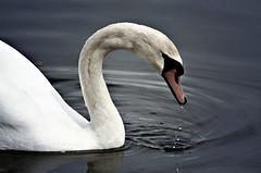 Labud/Swan I