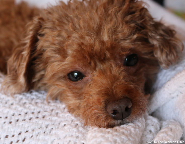 red toy poodle white blanket - Committed, Understanding, Comforting And Loves Me Unconditionally