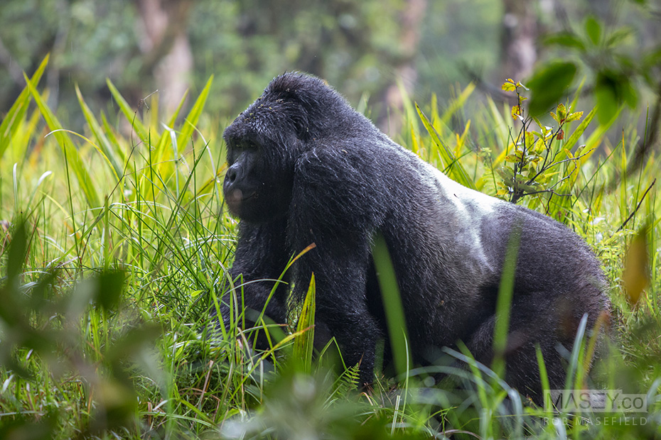 There's no way to describe just how imposing a silverback's presence is.
