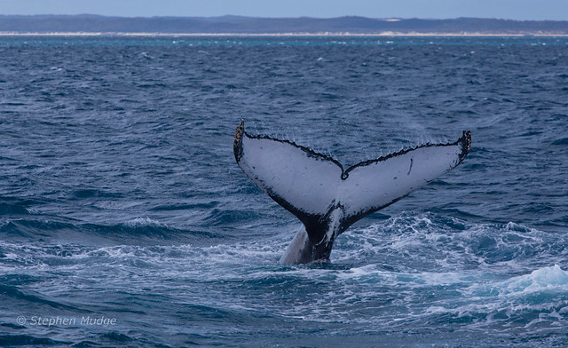 Humpback whale tail #3