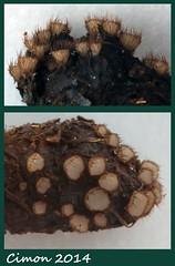 Trichosphaeopsis bicuspis