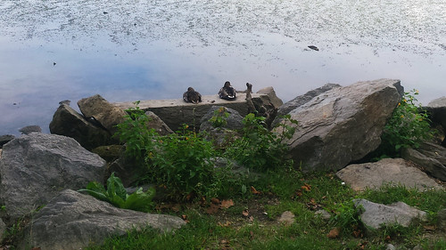Ducks on a rock