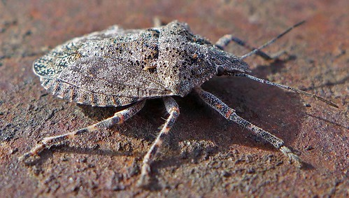 bug brochymena stink sulcata pentatomidae