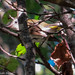Small photo of American redstart