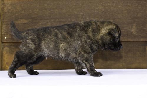 Nori-Litter2-30Days-Puppy2(male)c