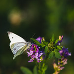 [173] Cabbage White Butterfly
