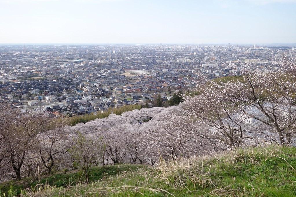 桜満開 高尾城址公園