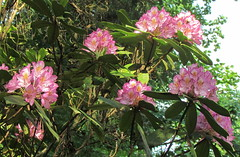Rhododendrons: Botanical Gardens: Chapel Hill, North Carolina (NC)