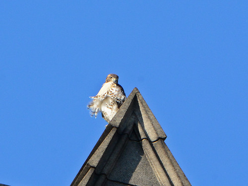 Cathedral Hawk Fledgling - 2832