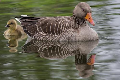 Grágæs / Greylag goose (Explored)