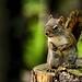 Evil-Eyed Squirrel (20140701-103048-PJG) by DrgnMastr