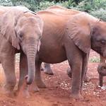 Young elephants enjoying a dust bath at the David Sheldrick Wildlife Trust, Nairobi, Kenya