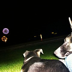Took the pups to the Hudson fireworks. #happy4th #shepsky #germanshepherddog #husky #puppy #fireworks