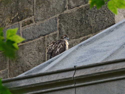 Cathedral Hawk Fledgling (2388)