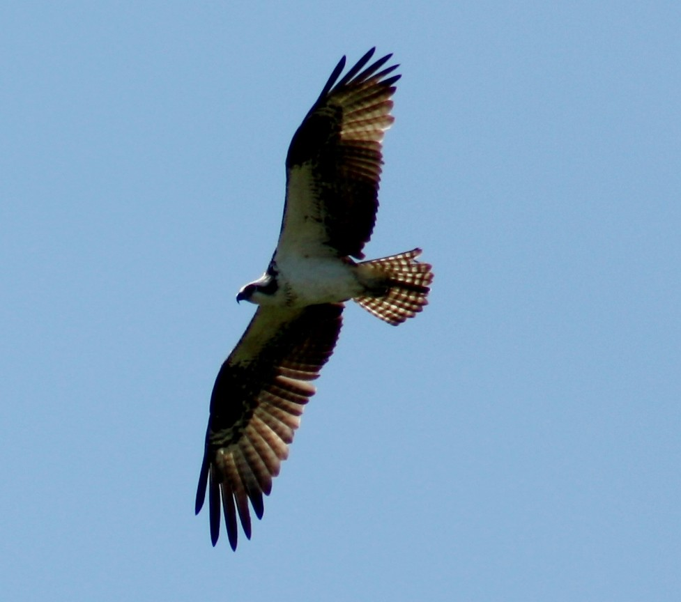 Hawk in flight II