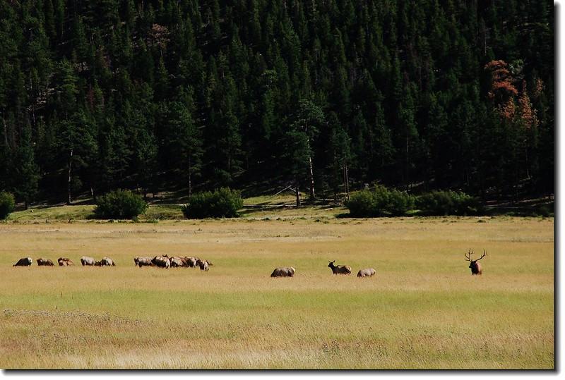 Elks in Moraine Park 3