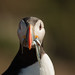 Puffin with bill full of sand eels by ejwwest